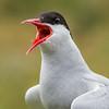 Charrán Artico / Arctic Tern