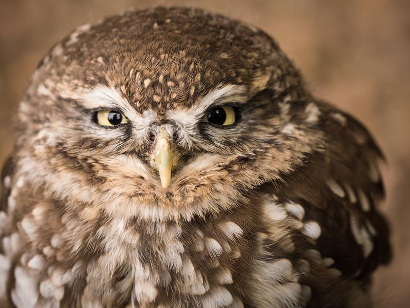 Little Owl, Puck, Dalhousie Castle, captive