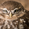 Little Owl, Puck, Dalhousie Castle, captive