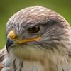 Ferruginous Hawk, Dalhouside Castle, captive
