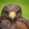 Harris Hawk, Dalhousie Castle, captive