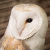 Barn Owl, Dalhousie Castle, captive