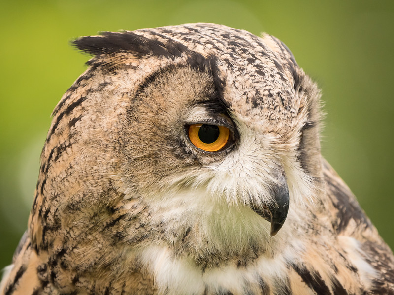 Turkmenian Eagle Owl, Duke, Dalhousie Castle, captive