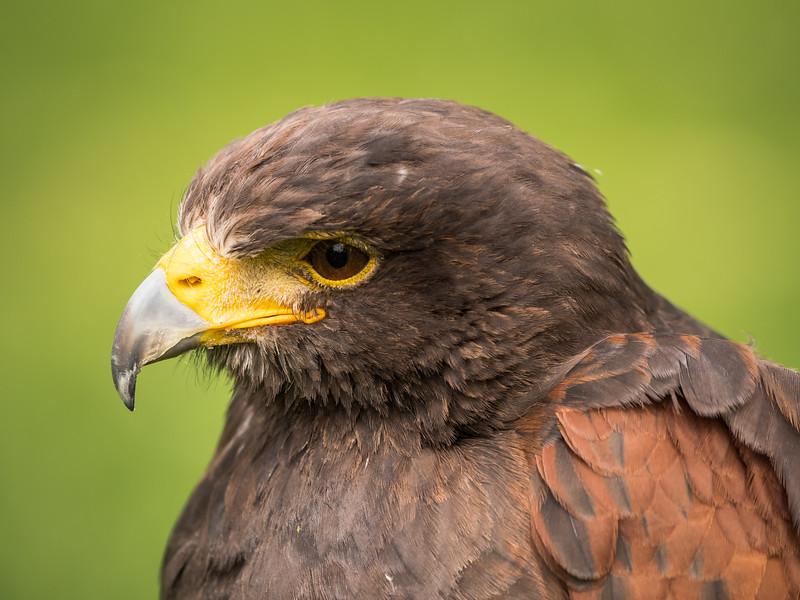 Harris Hawk, Dalhousie Castle, captive