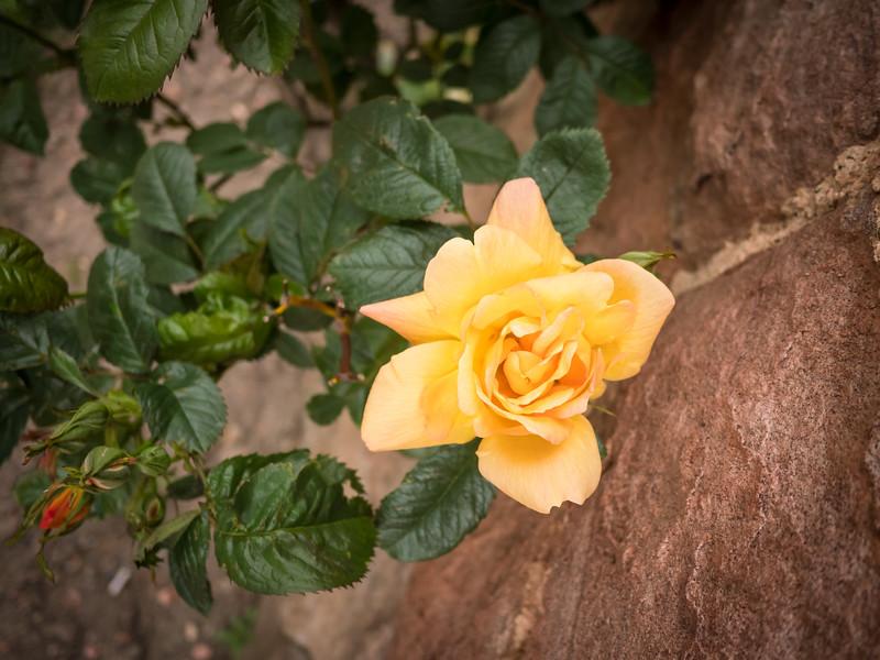 roses at Dalhousie Castle