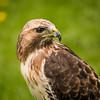 Red-Tailed Hawk, Dalhousie Castle, captive