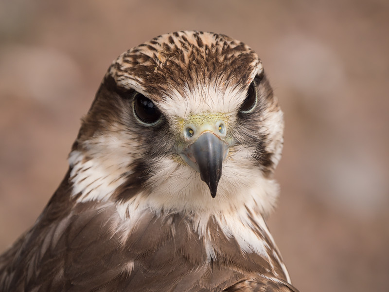 Lanner Falcon, juvenile, Dalhousie Castle, captive