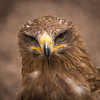 Russian Steppe Eagle, Dalhousie Castle, captive