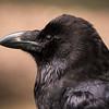 Raven, Jake, Dalhousie Castle, captive