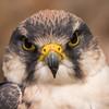 Lanner Falcon, Dalhousie Castle, captive