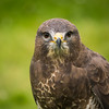 Common Buzzard, Dalhousie Castle, captive