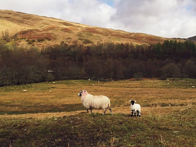 Scottish Blackface ewe and lamb