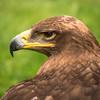 Russian Steppe Eagle, Dalhousie Castle, captive