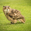 Turkmenian Eagle Owl, Duke, Dalhousie Castle, captive