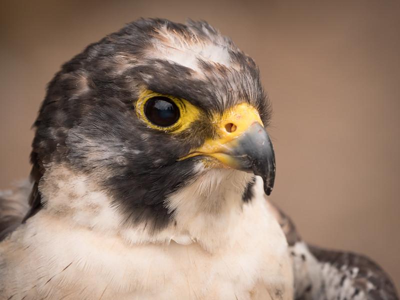 Peregrine Falcon, Lefty, Dalhousie Castle, captive