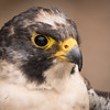 Peregrine Falcon, Lefty, Dalhousie Castle, captive