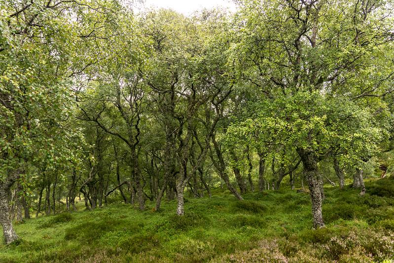 Ancient birch forest