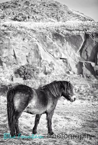 North Berwick Law Ponies Black and White