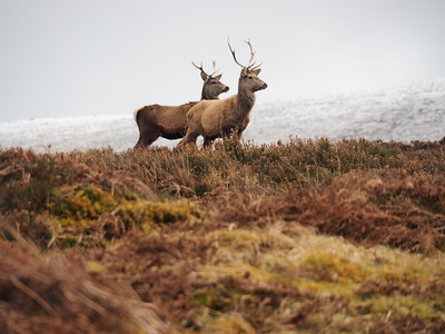 Glen Loth, Helmsdale Scotland Red Deer Stags