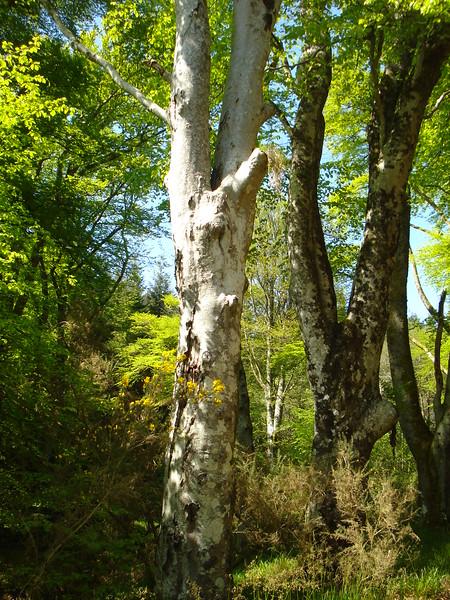 Beech tree in Spring, Ardlamont, Scotland