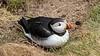 The Atlantic puffin seabird at Sumburgh Head near Lerwick, Shetland Islands, Scotland, Europe.