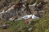 A pair of sea gulls on the cliffs at Sumburgh Head near Lerwick, Shetland Islands, Scotland, Europe.