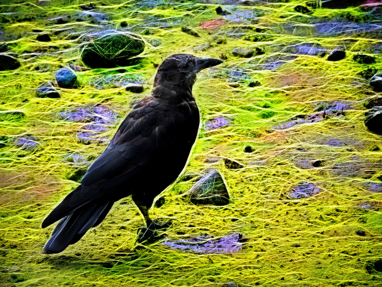 Glowing Beach Crow