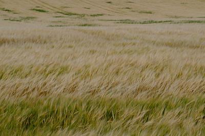 Barley for scotch