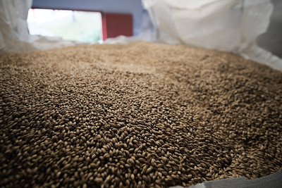 Dried, malted barley ready for scotch making