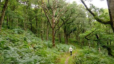 Ancient oak woods, Taynish Peninsula