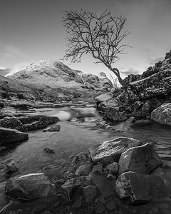 Glencoe  'THE' tree