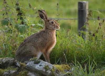 22.9.2008 Das ist der Hase, der uns regelmäßig in Knocklea besucht.