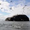 <DIV ALIGN=CENTER>16-08-2011 <b>Bass Rock</b> <i>© Marta</a></i></DIV>