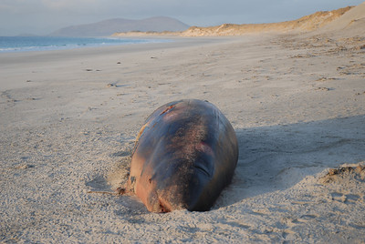 a stranded whale on Berneray's West Beach, 16.03.2009