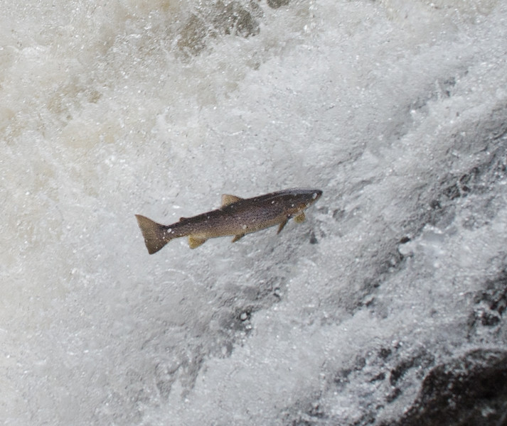 Bridge of Feugh, salmon