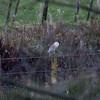 5Dii-2_7768 Barn Owl, Mansegate