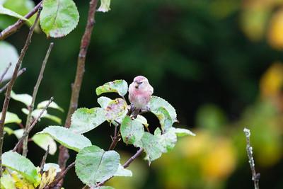 Mansegate Garden birds etc