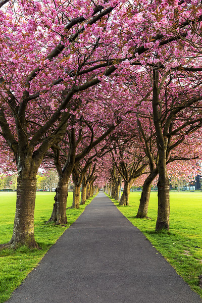 Row of Cherry Blosson Trees in the Meadows in Spring