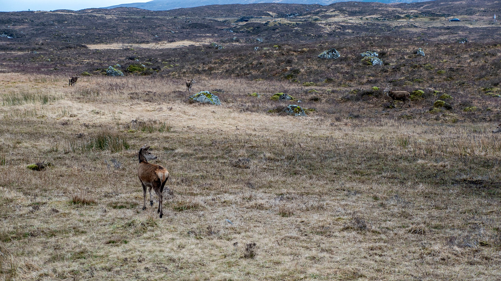Wild deer at The Kingshouse Hotel in Glencoe Scotland