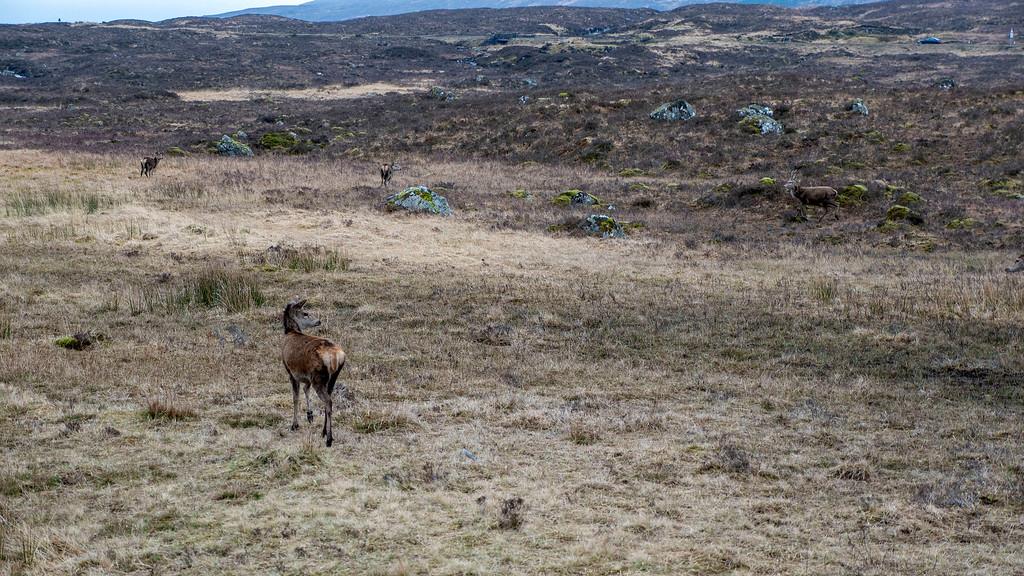 Wild deer at The Kingshouse Hotel in Glencoe Scotland