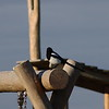 A Magpie taking in it's surroundings on the Glennifer Braes in Paisley