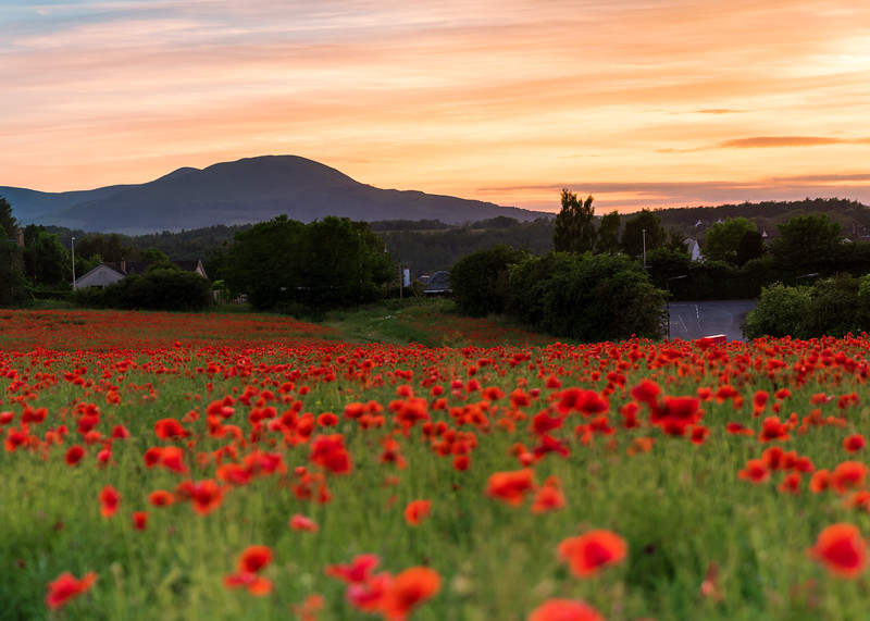 Poppy Fields at Sunset Just Outside Polton