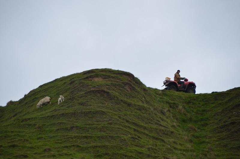 Local farmer's sheep patrol to Scrabster