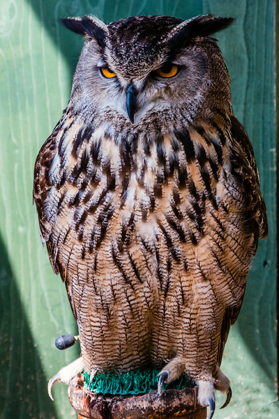 UK-WALES-CARDIFF-CARDIFF CASTLE-FALCONRY-EAGLE OWL