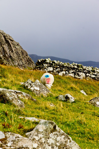 SCOTLAND-ISLE OF SKYE-NEIST POINT-SHEEP