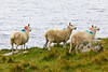SCOTLAND-ISLE OF SKYE-NEIST POINT-SHEEP