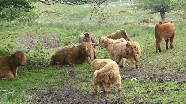 Highland Cows - just chillin'