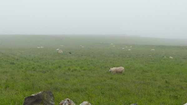 Flock of sheep in Berwick-Upon-Tweed near Holy Island