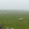 Flock of sheep in Berwick-Upon-Tweed near Holy Island