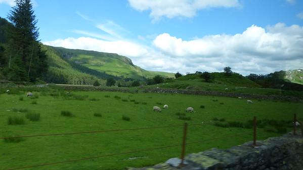 Lake District sheep grazing